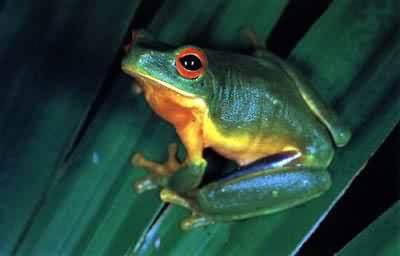 Australian photographs - green tree frog